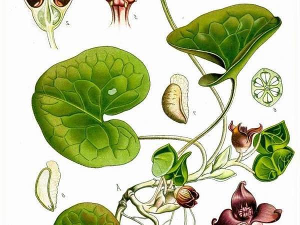 Как в народной медицине применяется растение