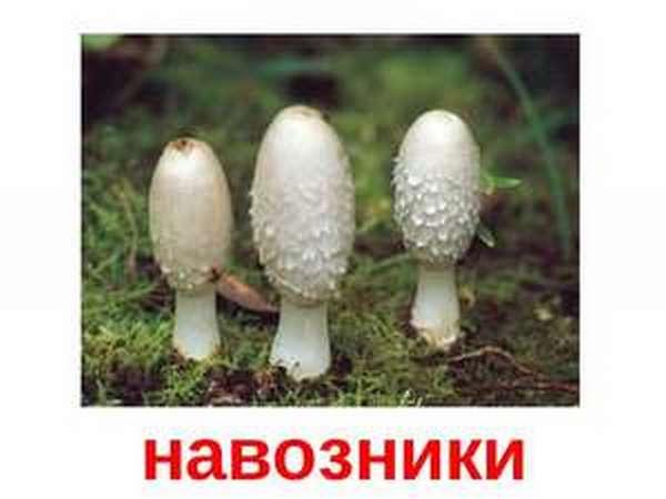 Как определить гриб навозник