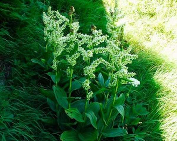 Применение травы Кукольник