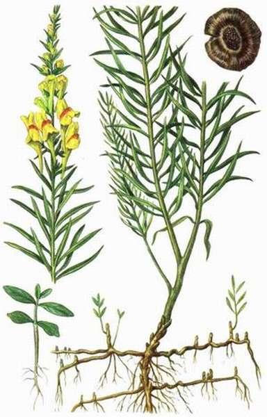Трава золототысячник и его описание