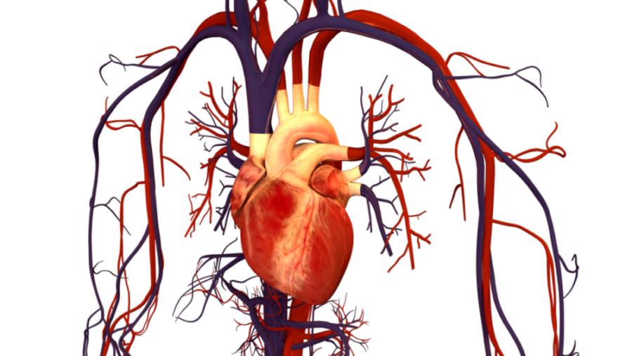 Сердце с сосудами
