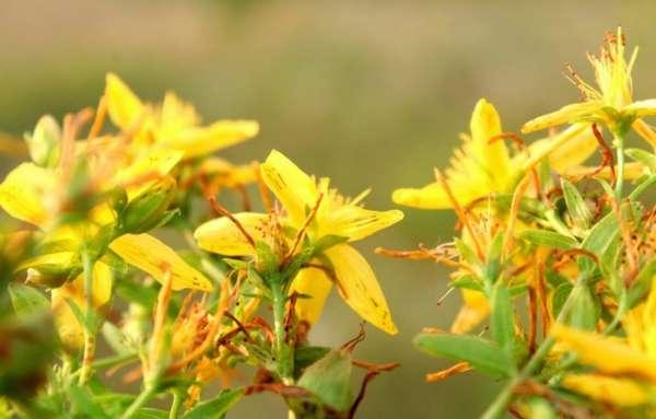 Цветы зверобоя