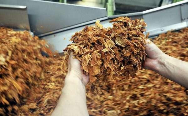 Табачные листья на конвейере