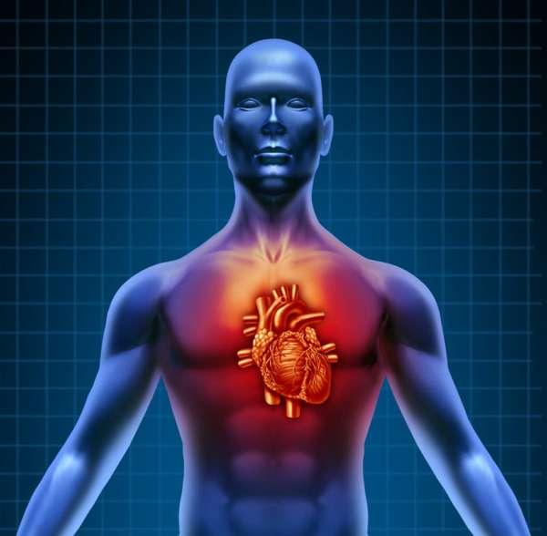 Сердце в организме человека