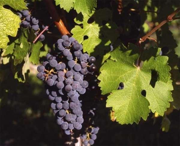 Виноград Каберне Саньон