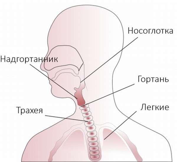 Носоглотка, гортань, надгротанник, трахея, легкие
