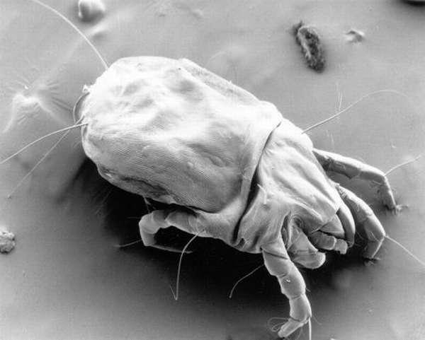 Микроскопический клещ