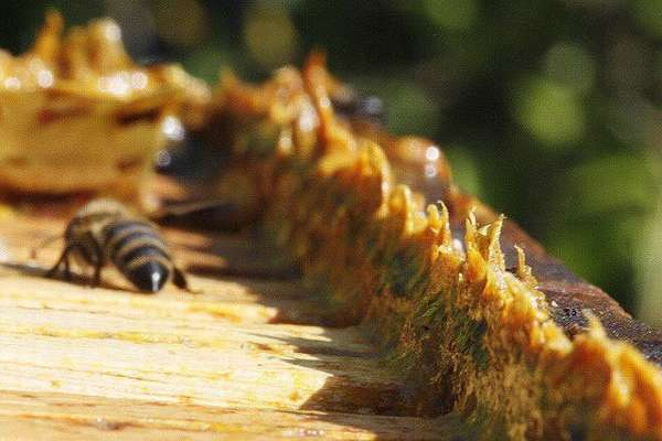 Прополис и пчела