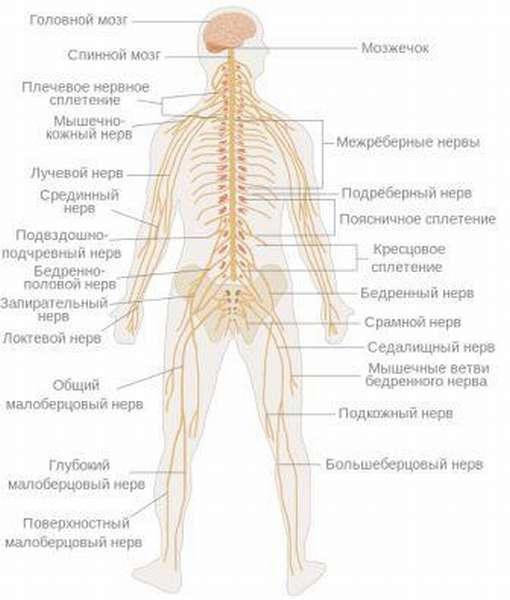 Все нервы на теле человека